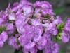 Goździk brodaty  (Dianthus barbatus)